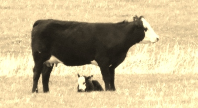 Cow&Calf2014--5-16 - Copy