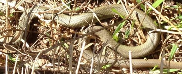 Racer Snake 2015--4-28