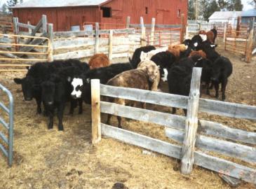 Calves in corrals 1988