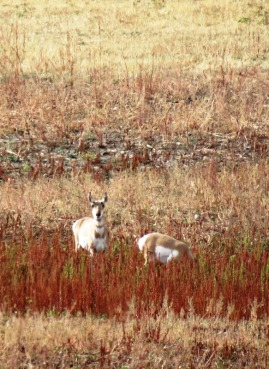 Cataracts fall grass pronghorn