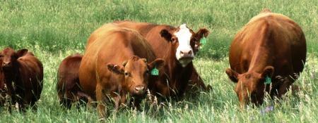CattleBrent2014