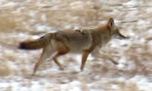 Coyote 4 2015--11-26