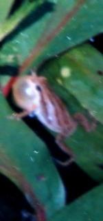 chorus-frog