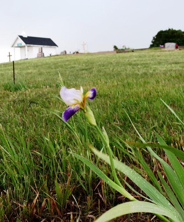 cemetery iris grass 2017--5-28