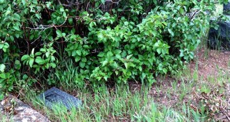 cemetery lilacs encroaching 2017--5-28