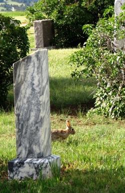 Cemetery rabbit resident 2017--5-28