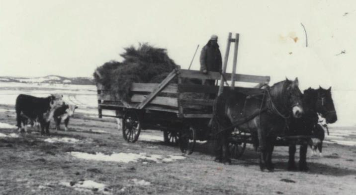 work horses feeding hay to cattle