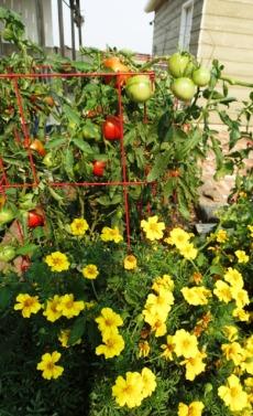 Tomatoes ripening 2017
