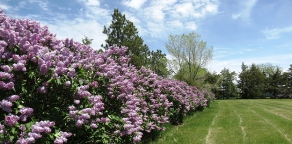 Lilacs at HSH - small copy for blog