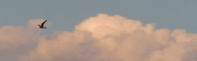 Nighthawk flying in clouds - small copy for blog