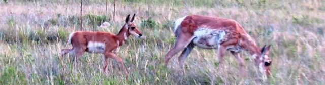 Pronghorn kid 2016--7-30 small version for blog