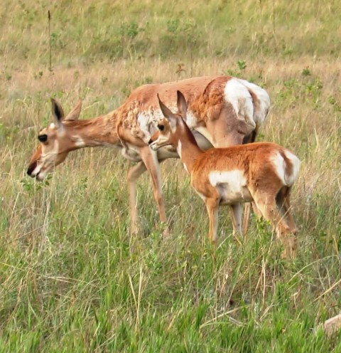 Pronghorn mother and kid 2016--7-30 small version for blog