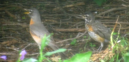 Robin adult and fledging 2018--6-14 - small copy for blog