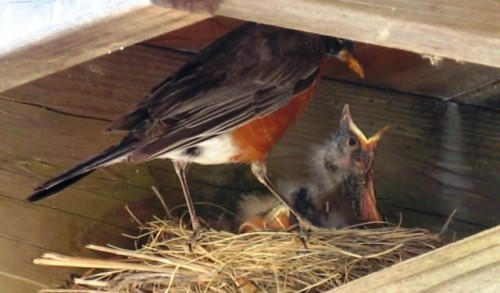 Robin baby wants to eat 2017--7-8 - small copy for blog