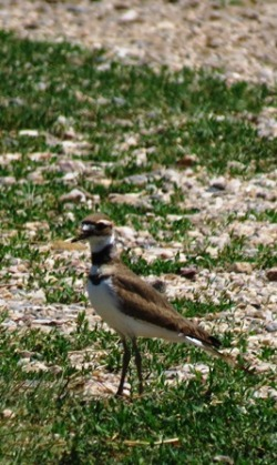 Morning Walk Killdeer
