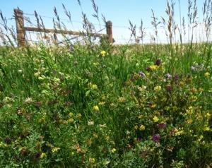 Morning Walk three colors of alfalfa