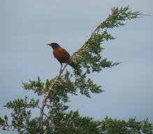 Robin in top of cedar tree - small version for blog
