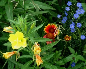 yellow evening primrose with gaillardia and blue flax - small version for blog