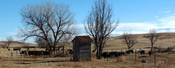 Cattle by outhouse 2017--11-24