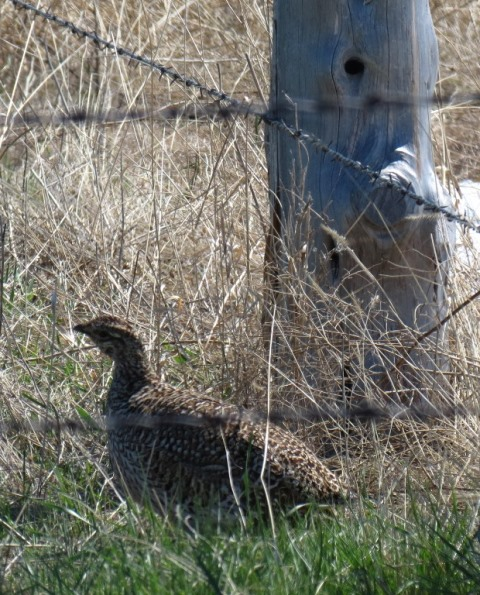 Harvest - Grouse by fencepost 2015--5-11