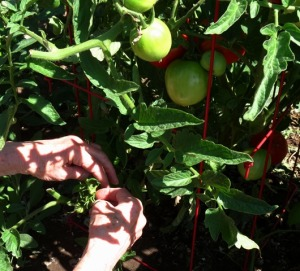 Harvest - tomatoes 2018--9-2