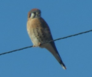Kestrel on electric line along ranch lane January 2019