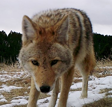 Golden Coyote - the real thing - game camera photo January 2019