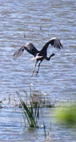 Nature - Heron flying away 2014