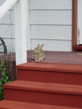 Nature - Rabbit on porch 2018