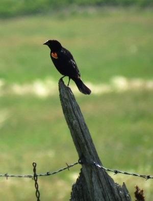 Nature - Red Winged Blackbird 2014