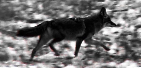 Darkness coyote crossing Nov 2015