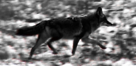 Darkness coyote crossing Nov 2015