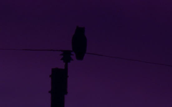 Darkness owl on power pole Oct 2017