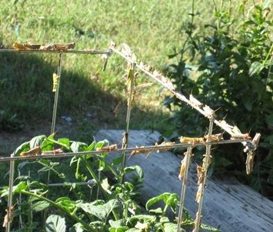 Lammas Grasshoppers on tomato cage 2012