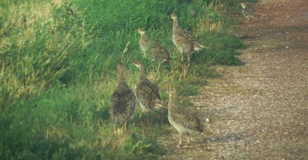 Lammas grouse flock