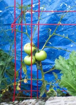 Lammas leafless tomatoes