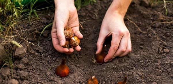 Lammas planting bulbs